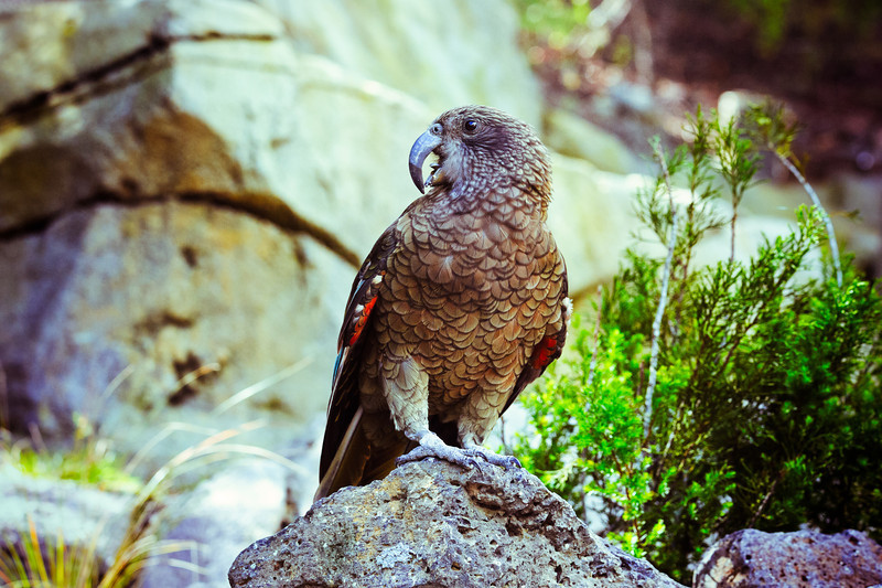 kea auckland zoo david st george photography