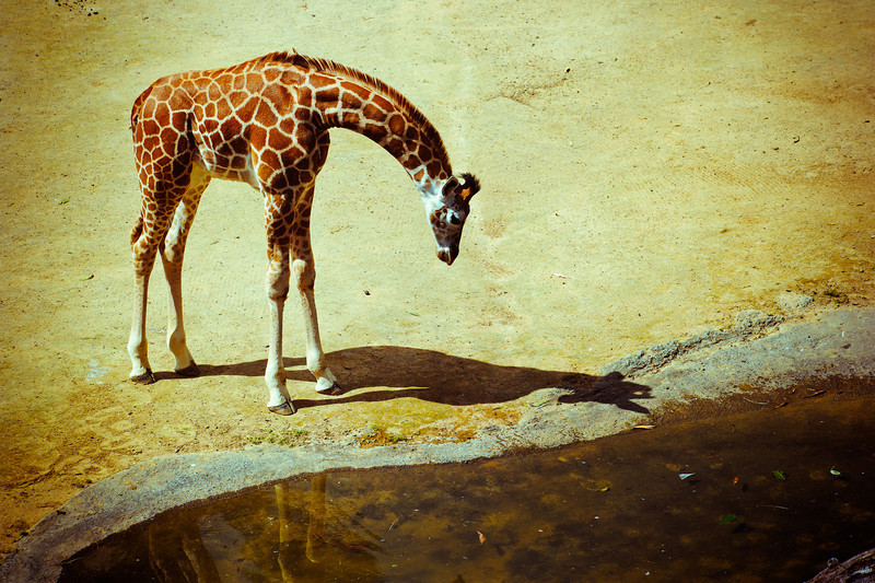 giraffe baby auckland zoo david st george photography documentary image nikon alien skin