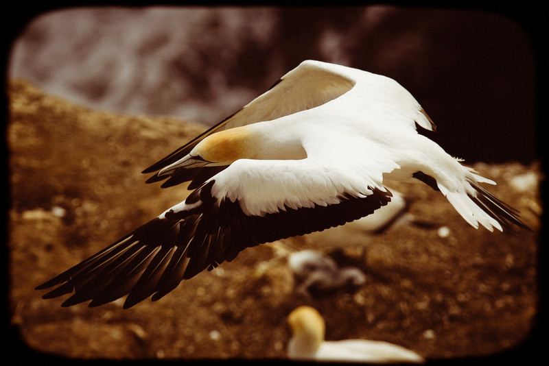Muriwai gannet colony photography image photo new zealand david st george documentary nikon d300 sigma 100-300mm